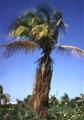 Candidatus Phytoplasma palmae (lethal yellowing of coconut); mid-stage foliar discoloration symptoms on the Atlantic tall coconut ecotype.