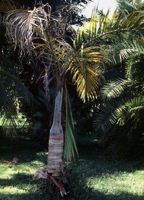 Candidatus Phytoplasma palmae (lethal yellowing of coconut); symptoms on spindle palm (Hyophorbe verschafeltii).