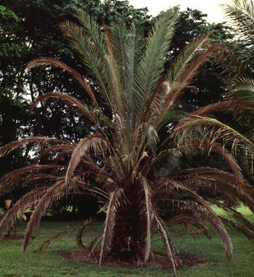 Candidatus Phytoplasma palmae (lethal yellowing of coconut); symptoms on edible date palm (Phoenix dactylifera).