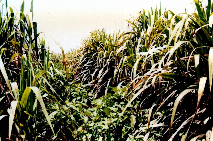 Yellowing of sugarcane leaves due to desapping by P. perpusilla.