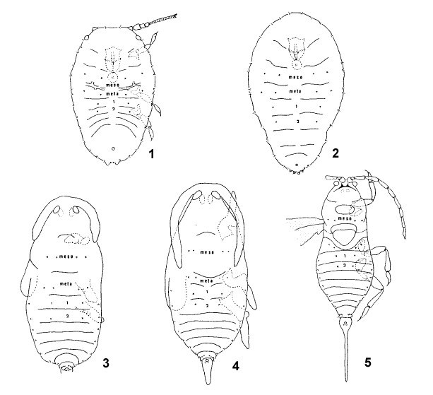 Diaspidiotus perniciosus (San José scale); Male larval instars: 1. first instar male; 2. second instar male; 3. prepupal male; 4, pupal male; 5. adult male.