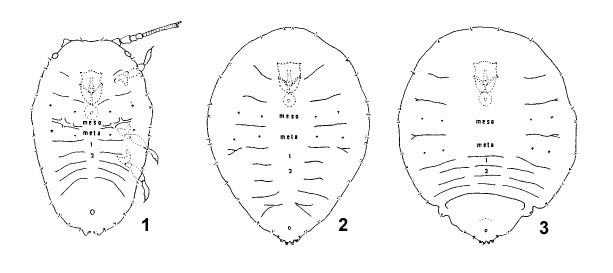 Diaspidiotus perniciosus (San José scale); female larval instars: 1, first instar female; 2, second instar female; 3, adult female.