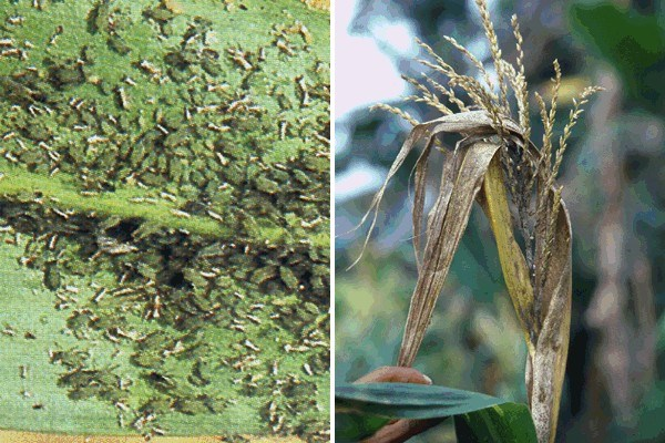 Rhopalosiphum maidis (green corn aphid); colony on maize leaf (left); symptoms on maize (right).