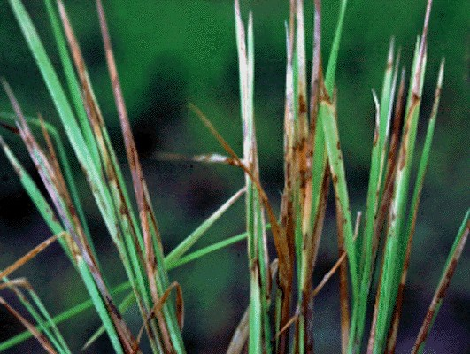 Rice seedling blight - caused by a complex of diseases.