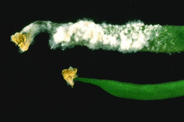 White mould of beans caused by S. sclerotiorum, showing white fluffy mycelia on the diseased pod (top).