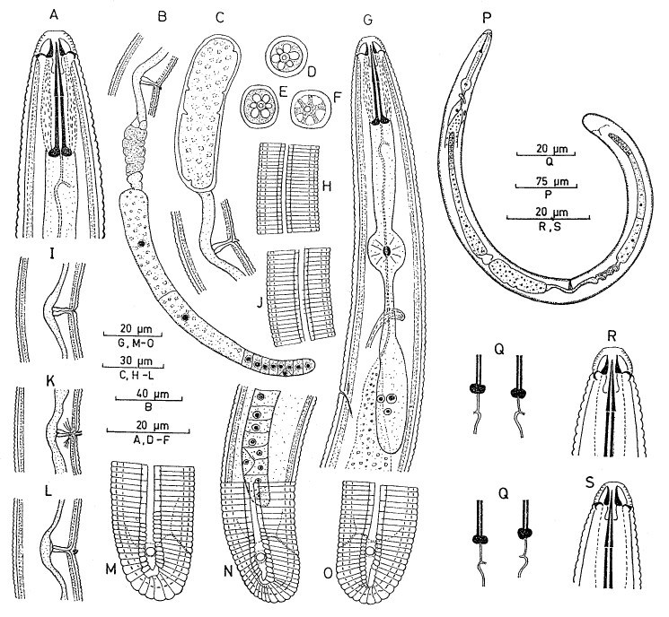 Scutellonema clathricaudatum, female: A. R, S. Anterior region; B, C, I, K, L. Vulval region and vagina, with posterior genital branch (B), and egg (C); D, E. Lip region, nend-on view; F. Cross section at basal lip annulus; G. Oesophageal region; H, J. Lateral field, anterior (H) and midbody (J) regions; M-O. Tails; P. Total view; Q. Basal Knobs.