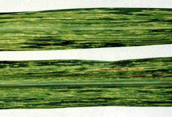 Sugarcane CP31-588 infected with SCMV-SC showing yellow streaks and slight necrosis.