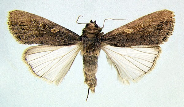 Adult female S. exempta (museum set specimen).