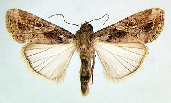 Adult male S. exempta (museum set specimen).