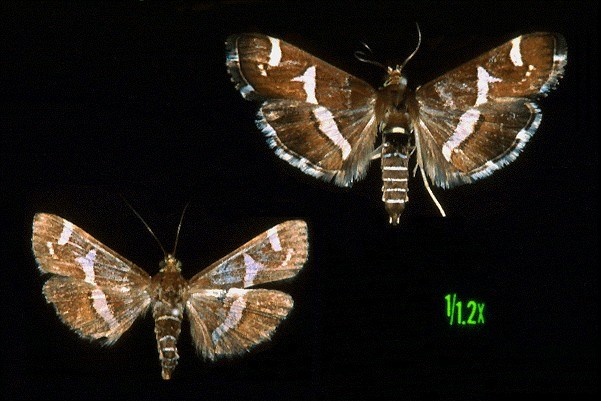 Wingspan of both sexes 22-24 mm, forewings are 9-11 mm long, deep brown with broad white median band; hindwings deep brown with a broad white median bar.