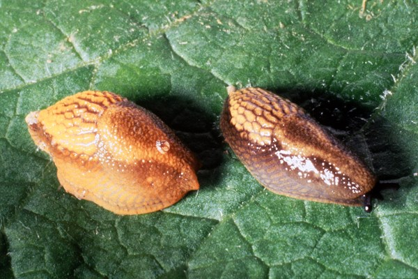 Two differently coloured juvenile A. vulgaris. Note the dark lateral bands on the slugs.