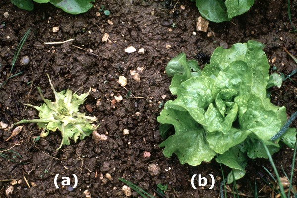 Lettuce damaged by A. vulgaris (a) and undamaged (b).
