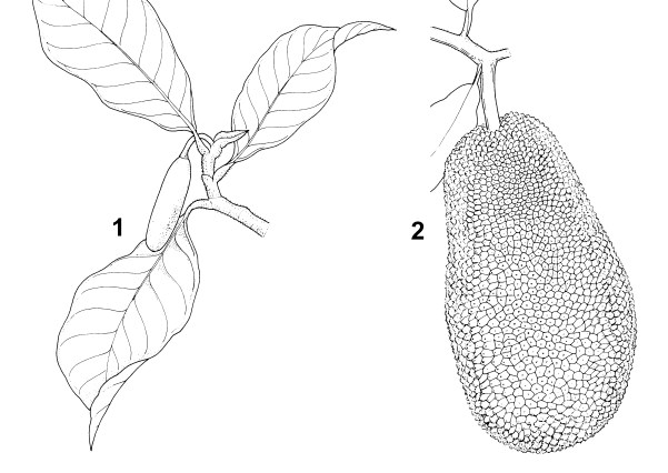 Artocarpus integer (champedak); 1. flowering branch. 2. branch with fruit (syncarp)