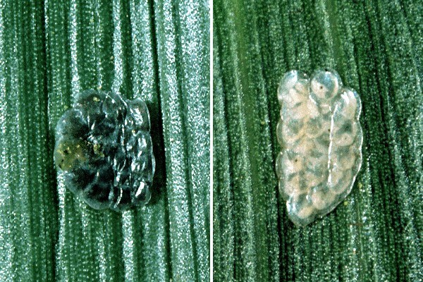 Ostrinia nubilalis (European maize borer); natural enemy. Parasitized eggs (left) and unparasitized (right).