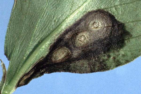Ascochyta leaf lesion showing pycnidia.