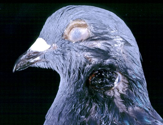 Nodule in a feathered area of a pigeon caused by pox virus infection.