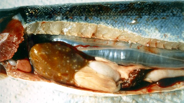 Exposed midsection of an infected coho salmon. Note granulomatous lesions in liver and spleen.