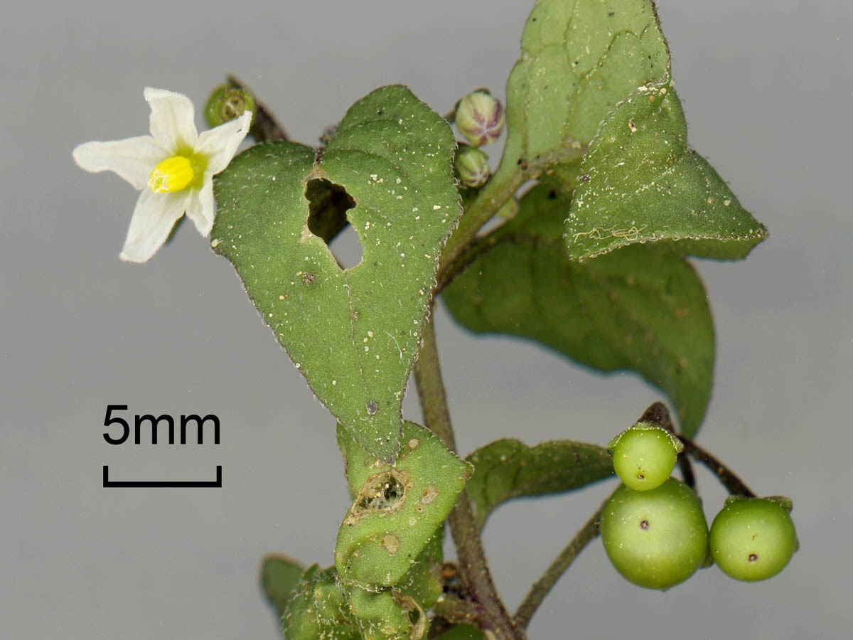 Flowers, foliage and unripe fruits of Black Nightshade (Solanum nigrum). CABI-HQ, Wallingford, Oxfordshire, UK. October 2012