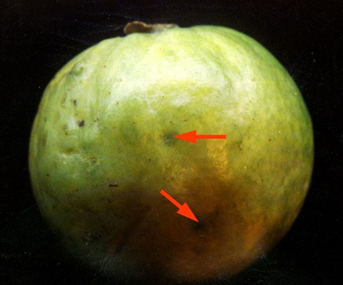 Bactrocera correcta (guava fruit fly); ovipositional punctures (arrowed) caused by a fruit fly.