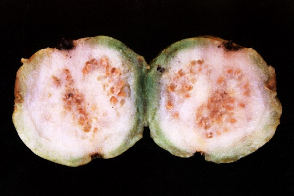 Bactrocera correcta (guava fruit fly); healthy guava fruit halved.