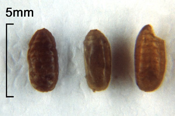 Bactrocera correcta (guava fruit fly); puparia. Note scale.