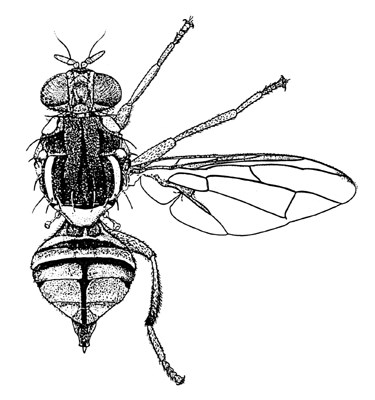 Bactrocera correcta (guava fruit fly); adult. Line drawing.