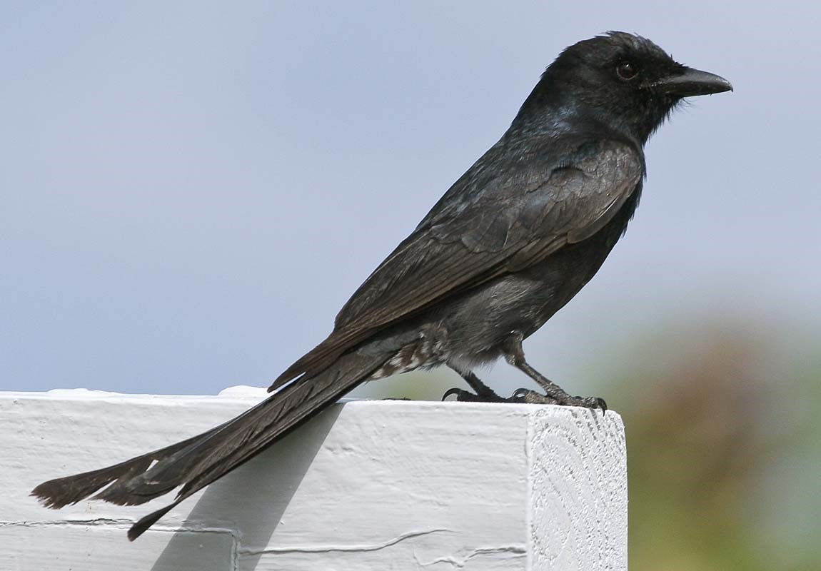 Juvenile/sub-adult Black Drongo on Rota, NMI