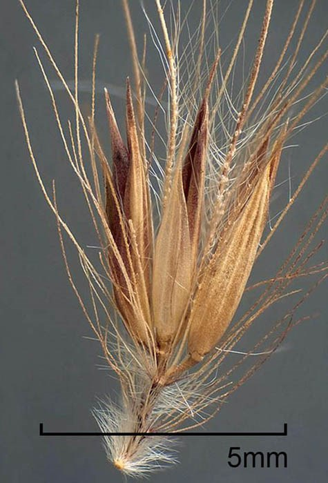 Pennisetum setaceum (fountain grass); spikelet. Disseminule with some bristles removed to reveal spikelet cluster. Fort Collins, Colorado, USA