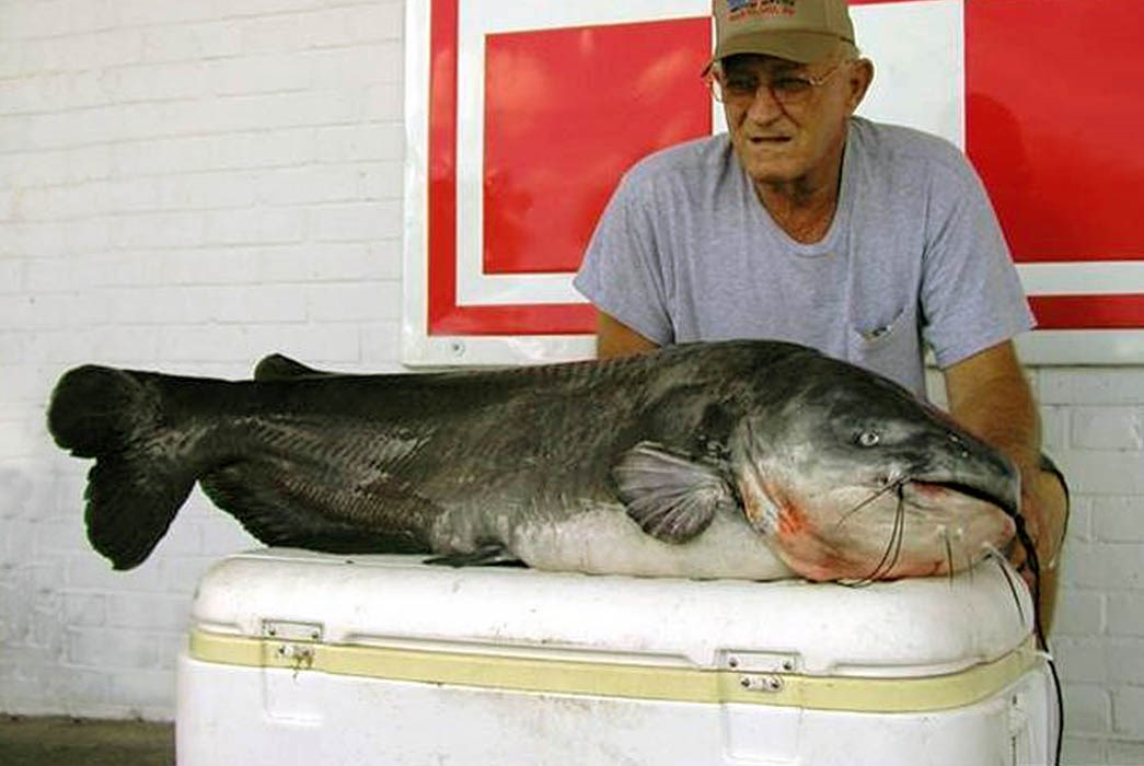 Ictalurus furcatus (blue catfish); adult, caught on the Choctawhatcheee River near Caryville, Washington County, Florida, USA.