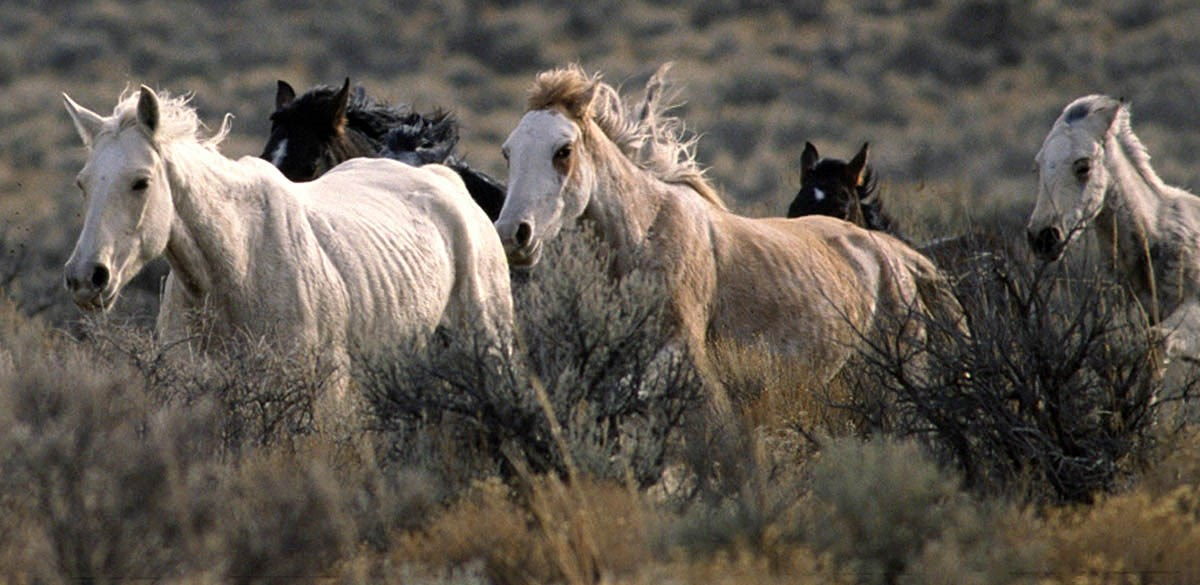 Horse (Equus caballus) feral type; adults, small herd running, USA.