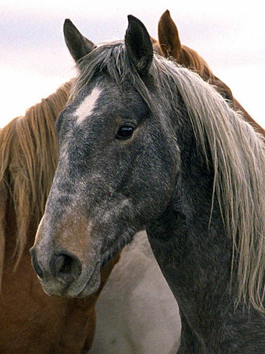 Horse (Equus caballus) feral type; close-up of head, USA.