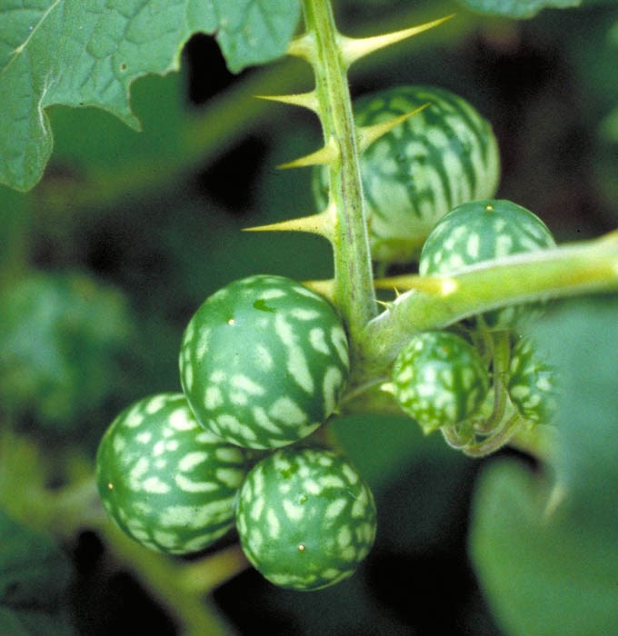 Solanum viarum (tropical soda apple); fruits. Thorny nightshade from Argentina, first appeared in the USA in pastures and rangelands in Glades County, Florida, in 1988. Mottled green fruits that look like small watermelons are a distinguishing feature .