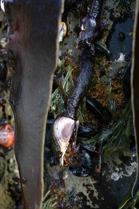 Exotic mussels (Mytilus edulis or M. galloprovicialis) and unidentified barnacles attached to a Japanese dock dislodged during the Tohoku tsunami of March 2011 and washed ashore in Oregon, USA in June 2012.