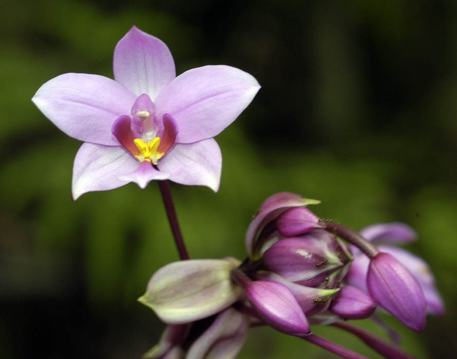 Flower detail.  Spathoglottis plicata growing in a forest area in Puerto Rico