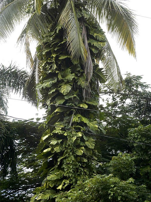 Epipremnum pinnatum cv. Aureum overgrowing the trunk of a palm in Puerto Rico.