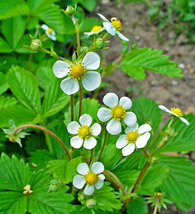 Fragaria vesca, Woodland Strawberry, Wild Strawberry; foliage and flowers. Karlsruhe, Germany. April 2009