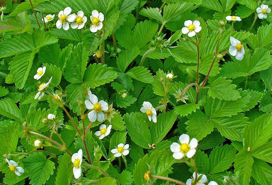 Fragaria vesca (Woodland Strawberry, Wild Strawberry); foliage and flowers. Karlsruhe, Germany. April 2009