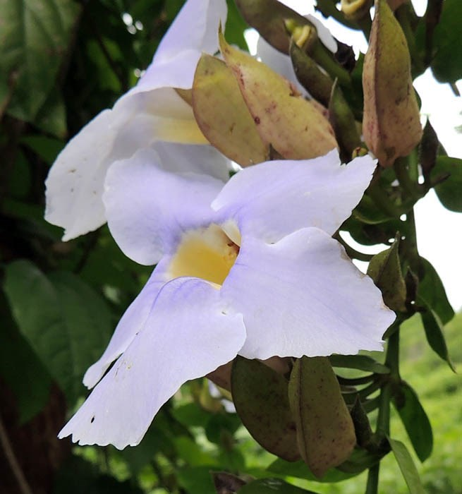 Thunbergia grandiflora (Bengal trumpet); close-up of flower. Puerto Rico, 2013.