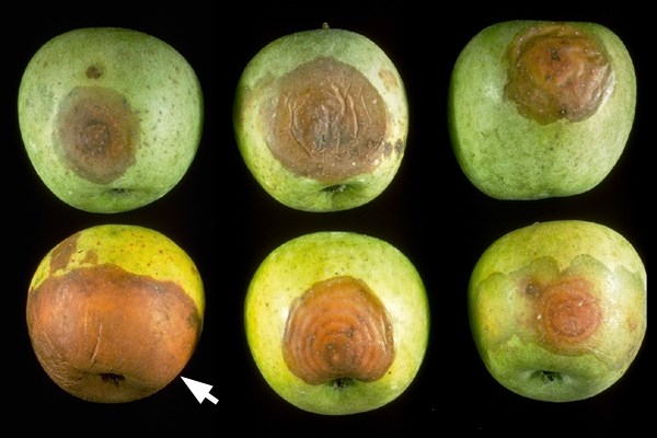 Botryosphaeria dothidea (canker of almond); white or bot rot on fruit. Several examples of 'Golden Delicious' with decay. Note apple on lower left (arrowed) is infected with black rot.