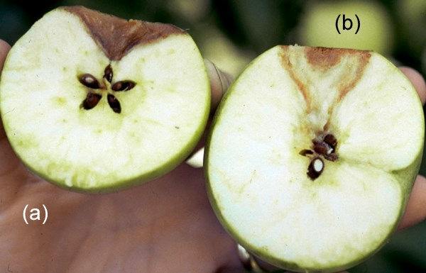 Botryosphaeria dothidea (canker of almond); white or bot rot on fruit, internal symptoms: (a) bitter rot; (b) decay often reaches and surrounds the apple core.