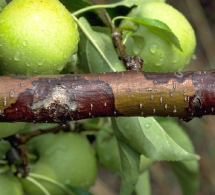 Botryosphaeria dothidea (canker of almond); white or bot rot rot on apple; note reddish-brown lesions on bark, young canker.