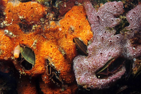 The purple and reddish Botrylloides violaceus colonies overgrow and potentially suffocate the mussels. Massachusetts coast, USA.