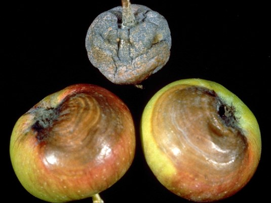Diplodia seriata (black rot of apple); brown wavy patterns in decay at the calyx end, and a mummified fruit with pycnidia.