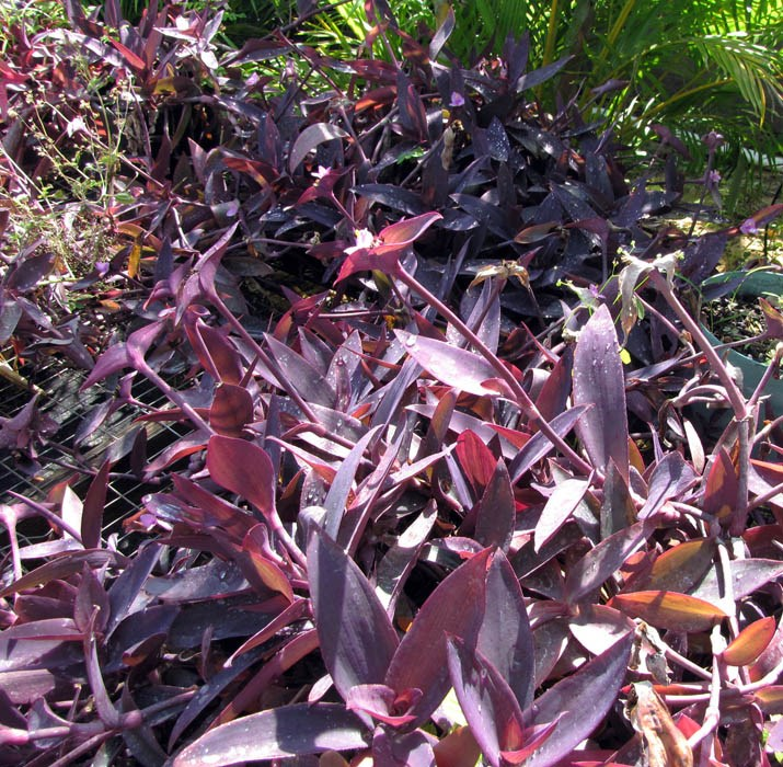 Tradescantia pallida (purple heart); habit. Kihei, Maui. February 15, 2011
