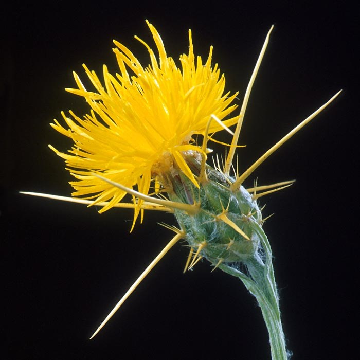Close-up of Yellow Star-thistle (Centaurea solstitialis).