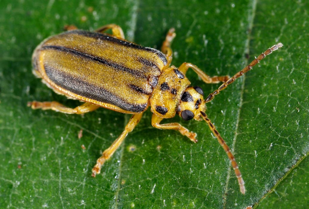 Pyrrhalta luteola (elm leaf beetle); adult on a leaf.