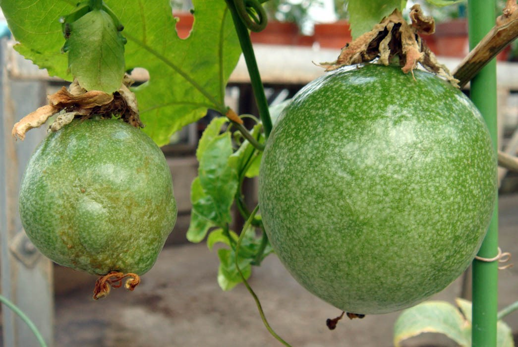 Comparison of the disease symptom of the fruits on the passionfruit infected by type strains of EAPV-AO and –IB. EAPV-AO (left) of a deformed grade is larger than EAPV-IB (right).