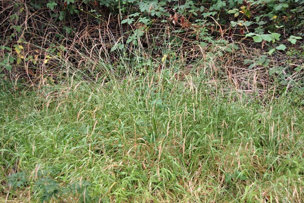 Brachypodium sylvaticum habit. Note that the grass is bright green, despite the fact that this photograph was taken mid-August (2009) and it last rained substantially in June 2009.  Also, the leaf blades are wide and lax, and the racemes are nodding.  The species is a bunchgrass, but in the invaded range there are so many seedlings and vegetative tillers that it can look like an unmown lawn, as in this picture.