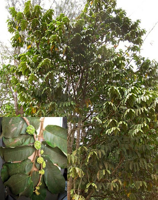 Castilla elastica (Mexican rubber tree); habit, with foliage. Inset, leaves and fruits.