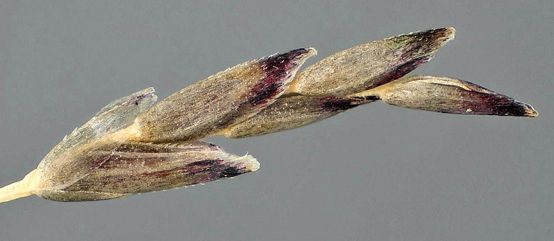 Eragrostis pilosa (India lovegrass); intact spikelet. Photographed in laboratory at CPHST, Fort Collins, Colorado, USA.